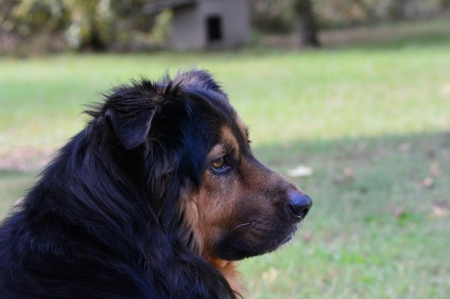 Black and brown dog with field in background