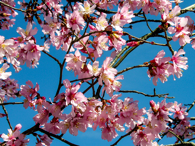 Cherry blossom flowers against a blue sky.