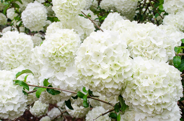 Chinese Snowball Viburnum Tree White Flowers