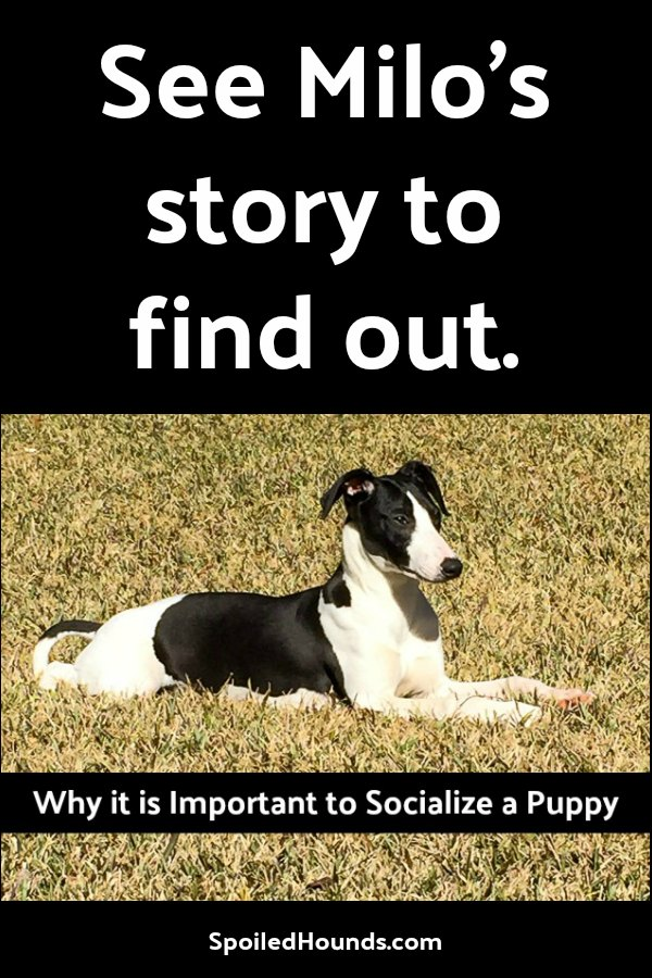 Read Milo's story to see why it is important to socialize a puppy. #dog #puppy #socializepuppy