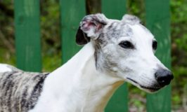 White whippet dog with brindle spots.
