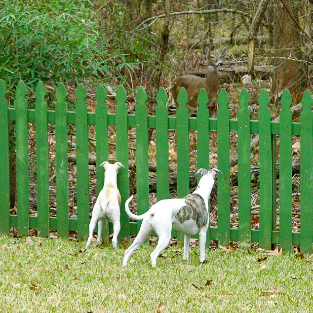 Two whippet dogs looking through a fence to see a deer.