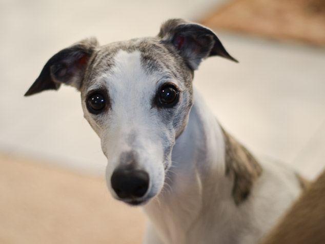 Whippet dog face with big eyes.