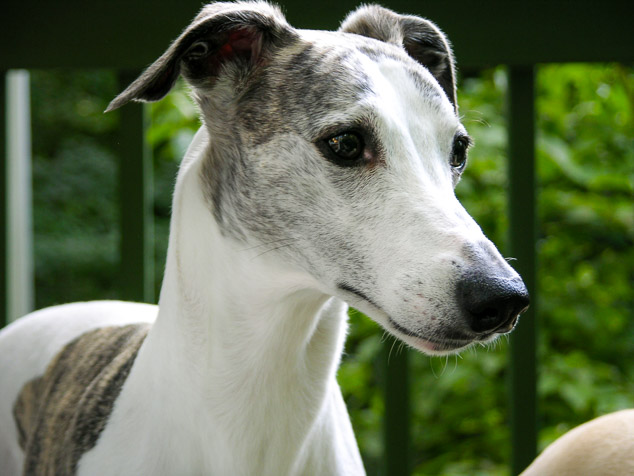Face of a white whippet dog with brindle spots.