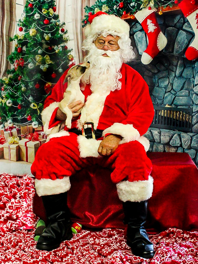 Whippet puppy with Santa