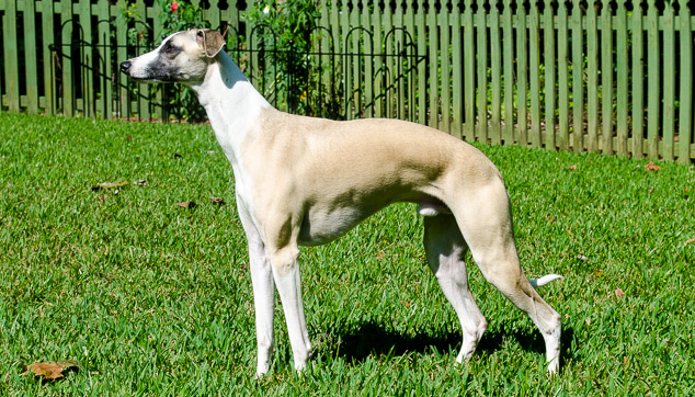 Fawn whippet dog standing on grass.