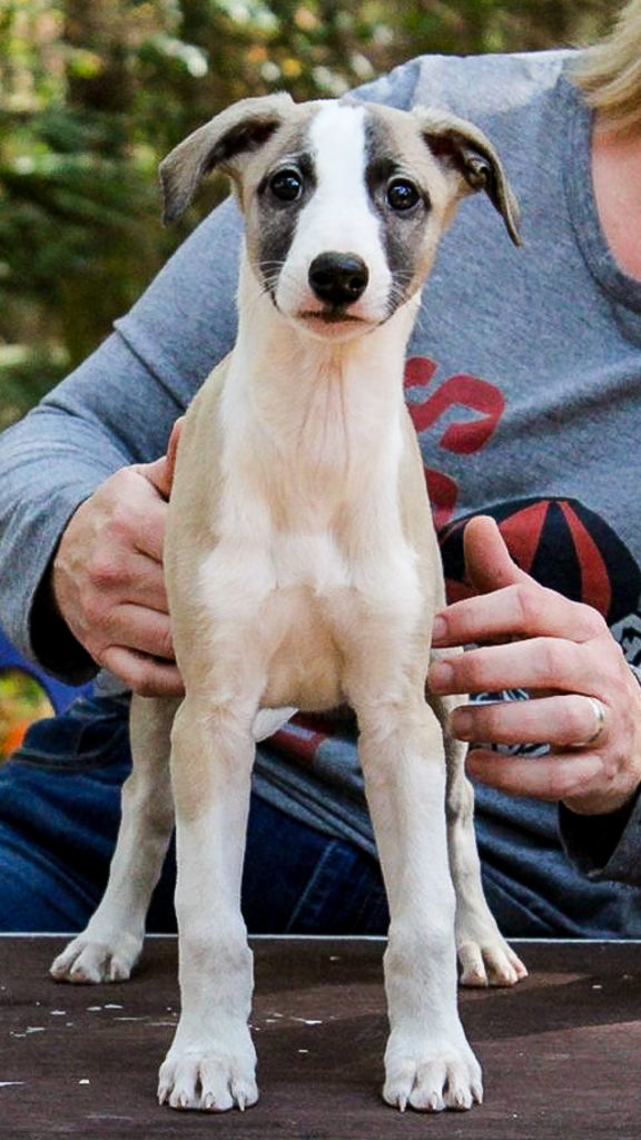 Whippet puppy standing on table.