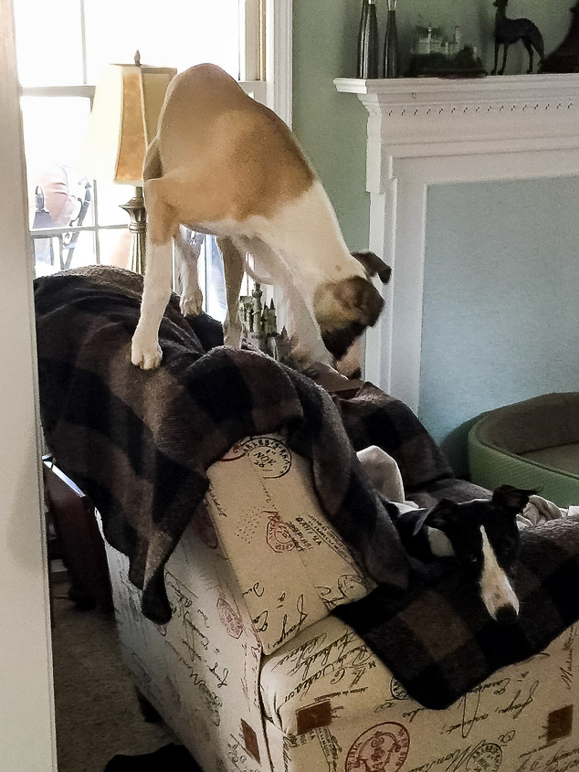 Whippet puppy standing on the back of a chair.