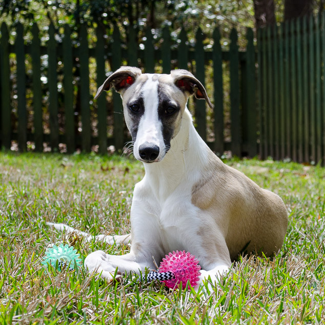 Whippet dog lying on grass with rope and ball toy.