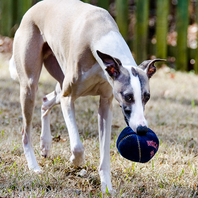 Whippet dog with a blue ball in its mouth.