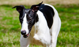 Black and white whippet dog named Milo Captured My Heart Photo