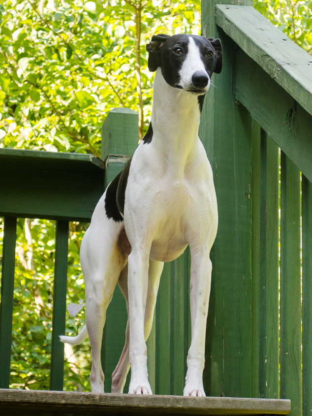 Black and white whippet dog standing at the top of deck stairs.