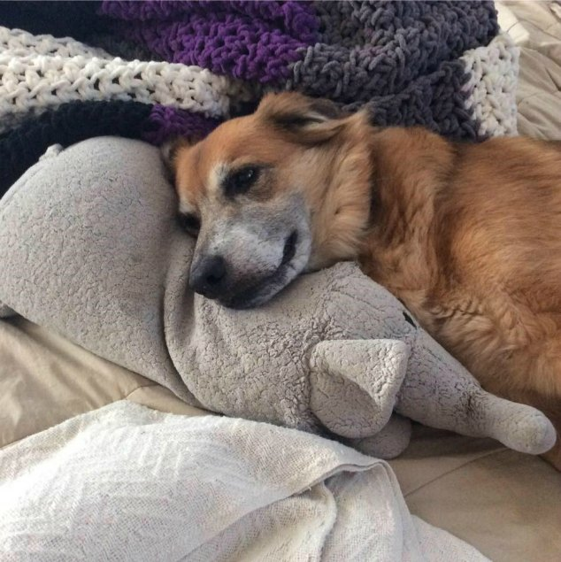 Brown dog with large stuffed dog toy.