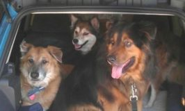 Three dogs in the back of a car.