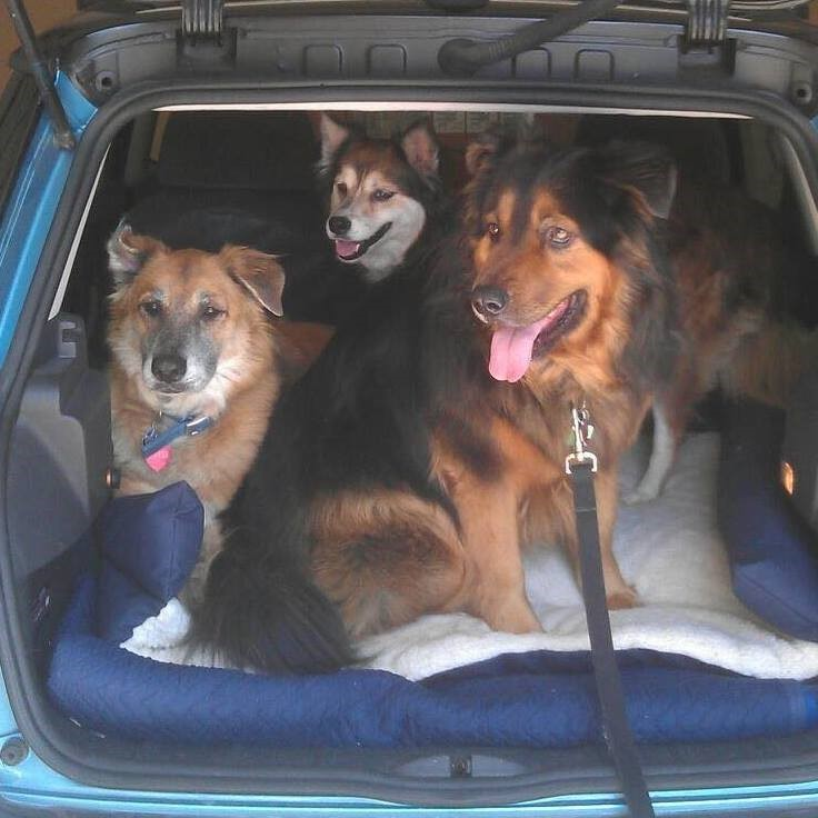 Three dogs in the back of an SUV.