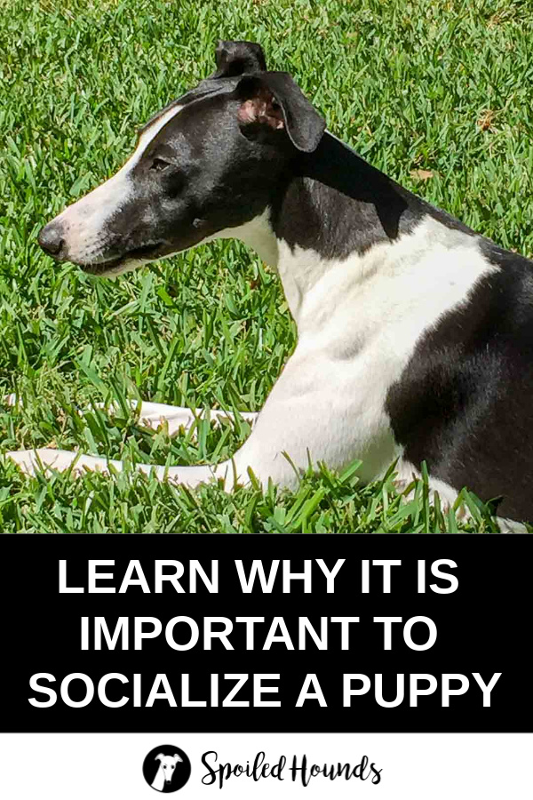 Black and white whippet dog on green grass with text under the photo.