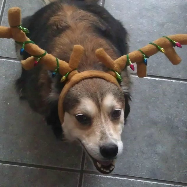 Dog with holiday reindeer antlers on its head.