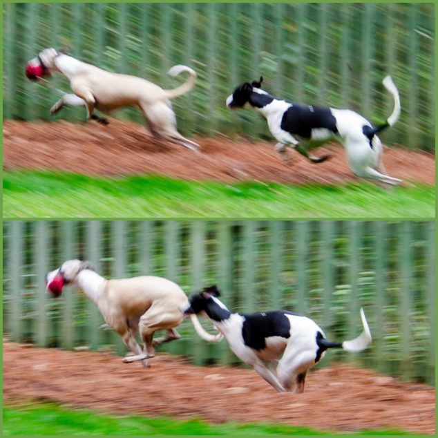 Collage of two whippet dogs running in sync