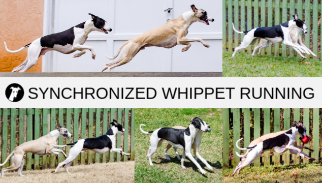 Collage of two whippets running in sync