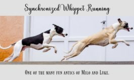 Synchronized whippet running by a garage door with blog post title text overlay