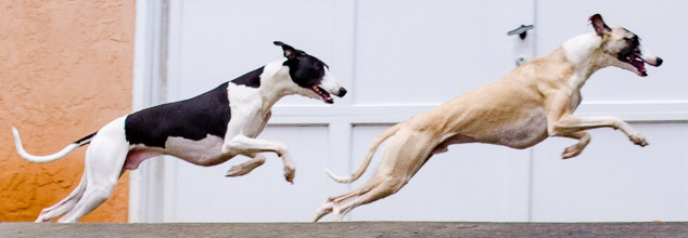 Synchronized whippet running by a garage door