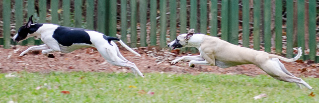 Synchronized whippet running by a fence