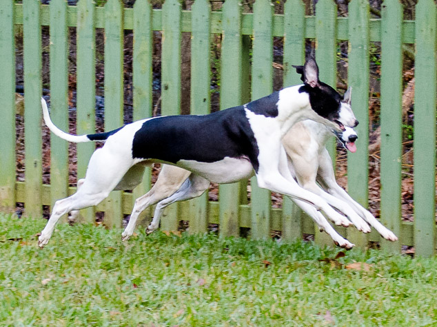 Synchronized whippet running by a green fence