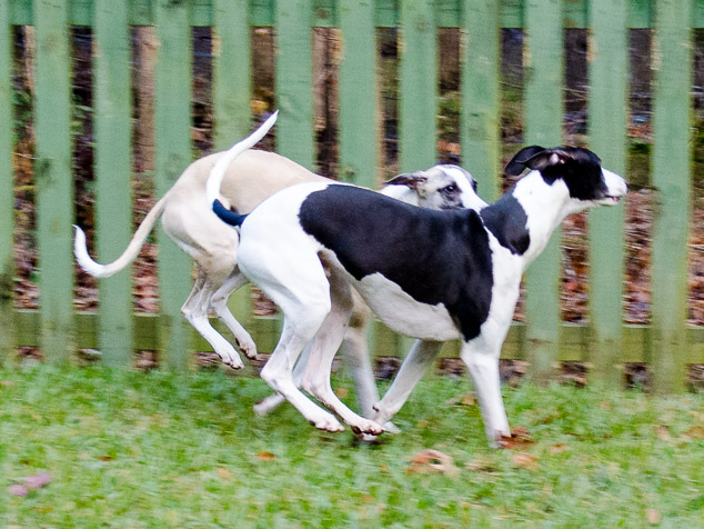 Synchronized whippet running with closed stride