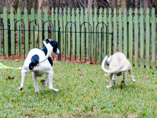 Synchronized whippet running with curled tails