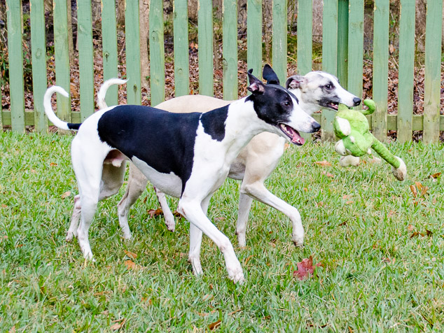 Synchronized whippet running with green dog toy