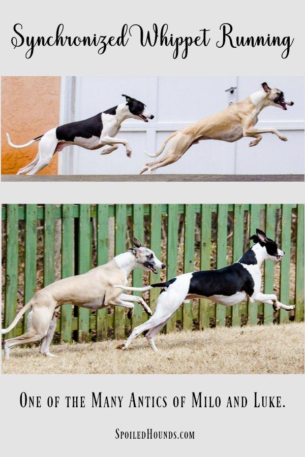 Incredible synchronized whippet running. #whippet #dog