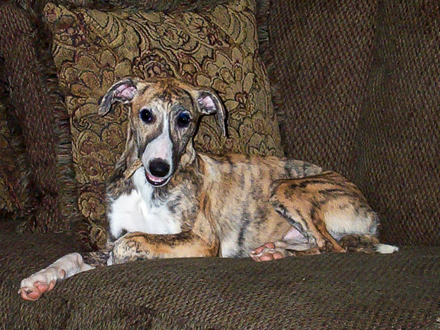 Red brindle whippet puppy on a couch.