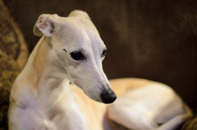 Fawn colored whippet dog sitting on chair.
