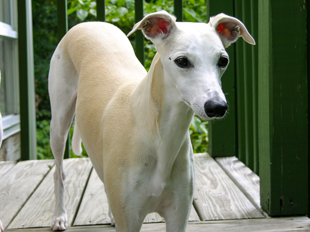 Fawn colored whippet standing on deck stairs.