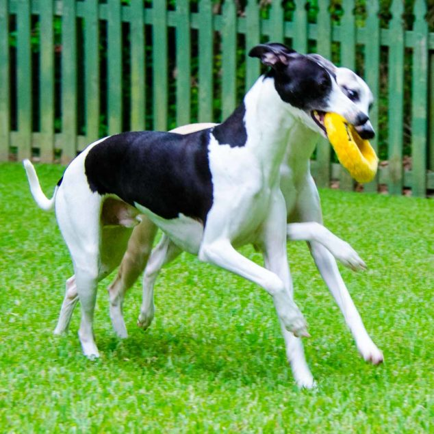 Two whippets walking and holding a donut dog toy
