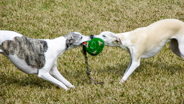 Two whippet dogs playing pull with two toys.