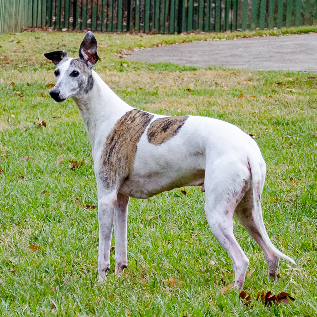 Whippet dog with one ear straight up.