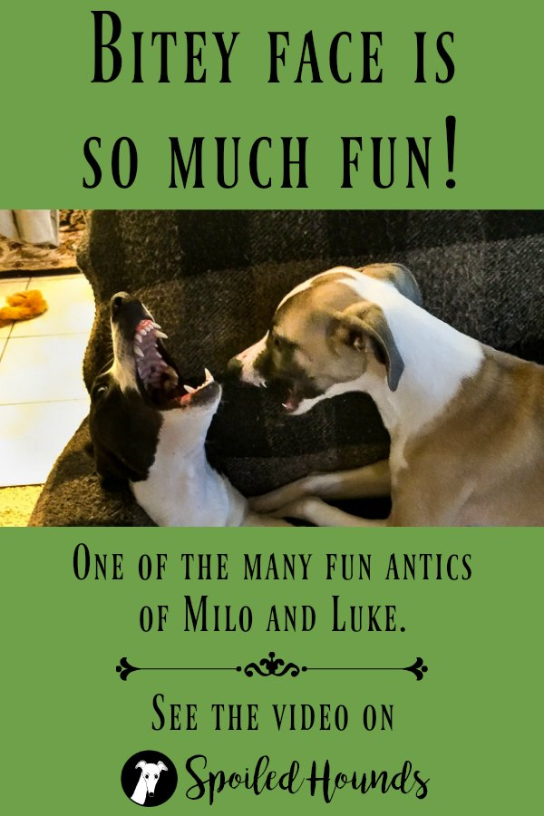Get a smile watching Milo and Luke playing bitey face! #dogs #whippet