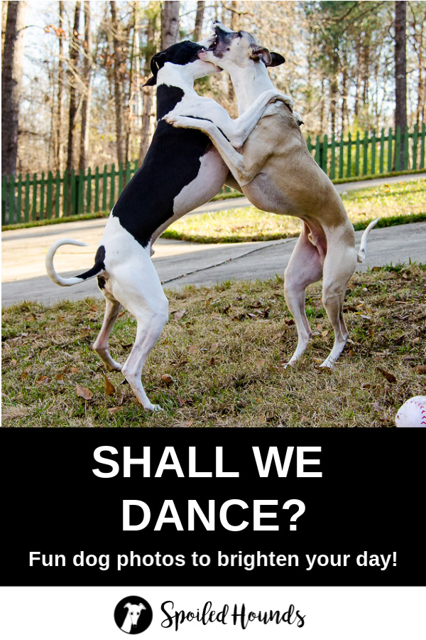 Two whippet dogs on their hind legs with their front legs wrapped around the other.