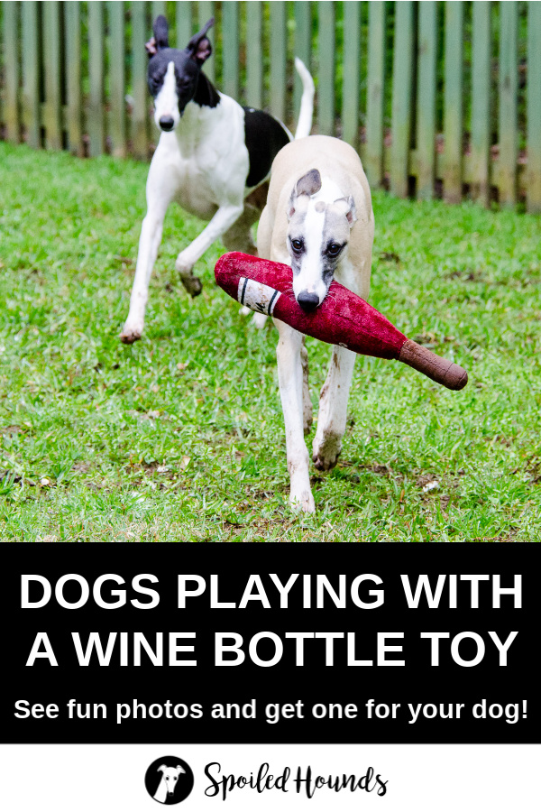 Two whippet dogs playing with a wine bottle dog toy