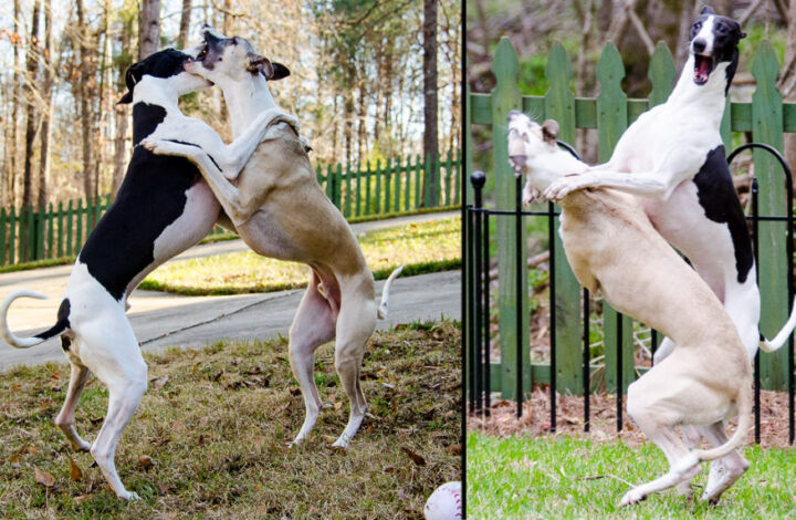 Collage of two whippet dogs playing