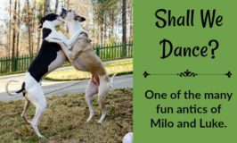 Shall We Dance Whippet Dogs Playing