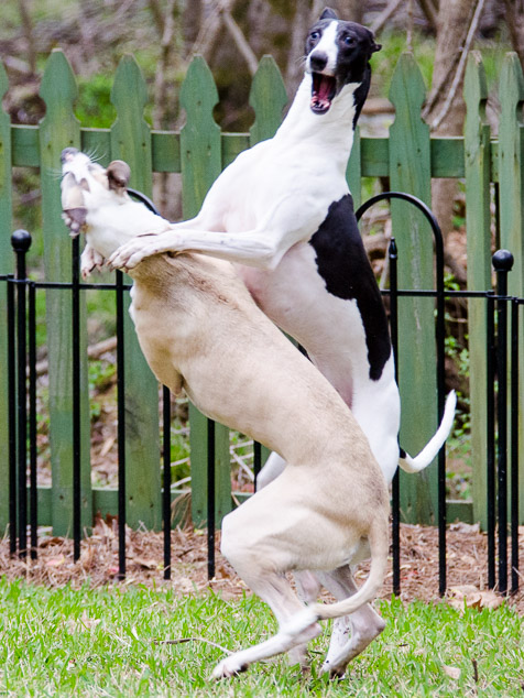 Shall We Dance - two whippet dogs playing