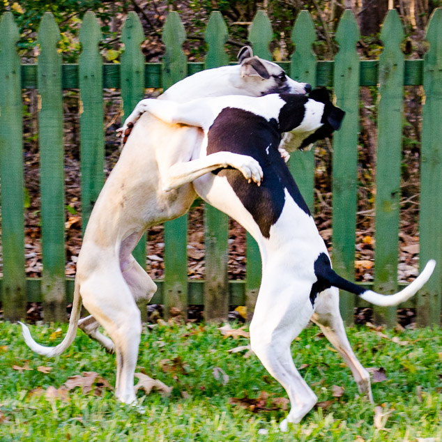 Shall We Dance - two whippet dogs playing with fence in background