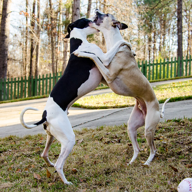 Shall We Dance - two whippet dogs standing together on back legs