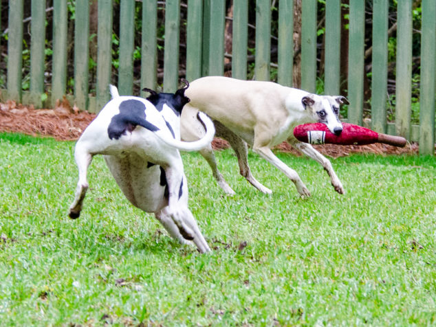 2 whippet dogs playing with a wine bottle toy