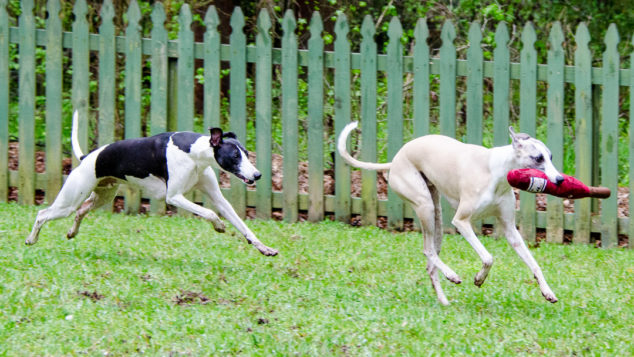 Whippet dogs running with wine bottle toy