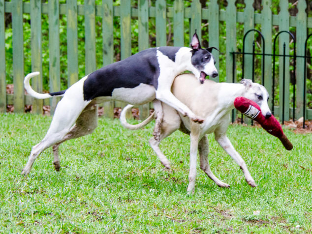 Two whippet dogs playing with a wine bottle toy