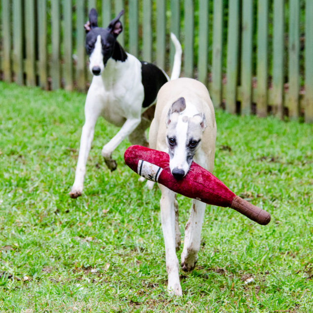 Two whippet dogs with a wine bottle toy.