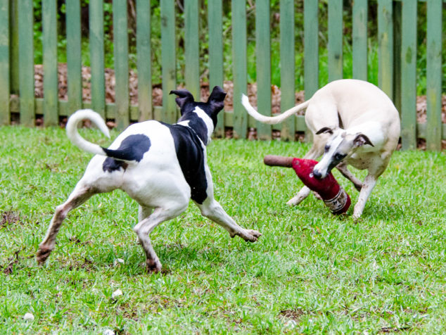 Whippet dogs playing with a wine bottle toy